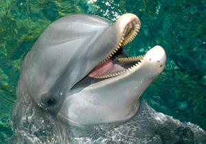 Shaka Wild Caught dolphin from Georgia Aquarium